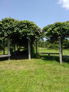 Grape arbor on Grape Island