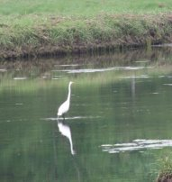 egret in great esker park