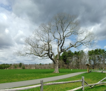 Large tree along the walking route at Forge Pond Park.