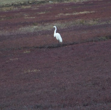 egret in the cranberry bog at whiton woods