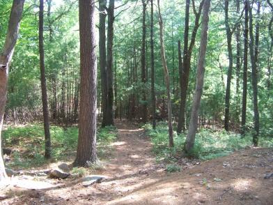 pine needle carpeted hiking trail in bradford torrey bird sanctuary