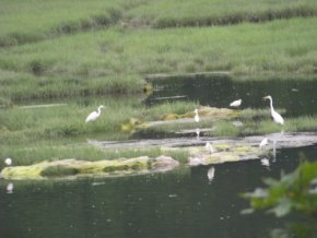 family of egrets in great esker park