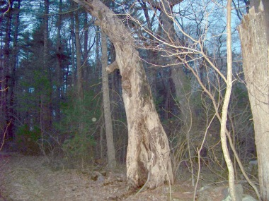 remains of old interesting tree in whiton woods