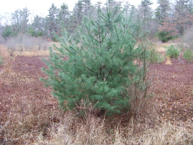 eastern white pine growing in abandoned cranberry bog