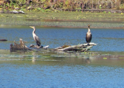 closer view of great herons at Burrage Wildlife Management Area