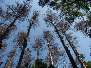 a look up at the dying red pines in george washington forest in hingham