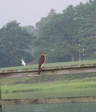 falcon on fence in Duxbury