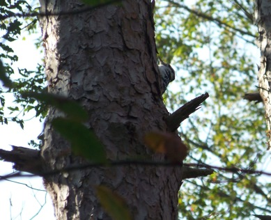 woodpecker on tree in george washington forest