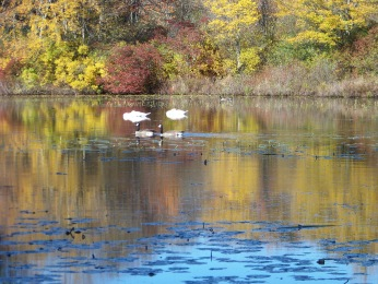 water fowl on cleveland pond at ames nowell