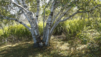 Interesting clump of birch trees on Bumpkin Island.