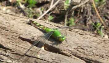green dragonfly at Wompatuck State Park