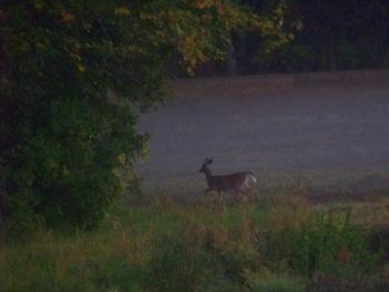 deer on bog in duxbury