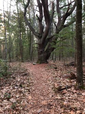 Large pine on Ellsberg Trail.
