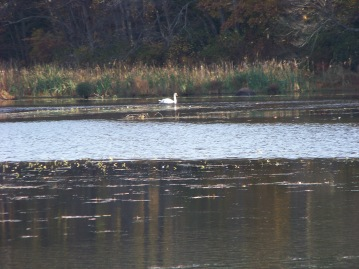 swan at forge pond in hanover