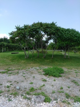 staghorn sumac in front of the grape arbor