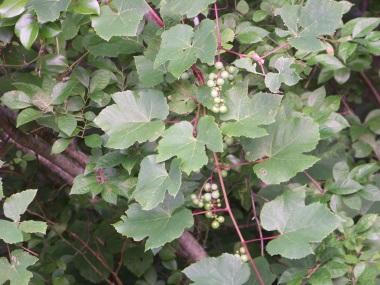 grapes at triphammer pond