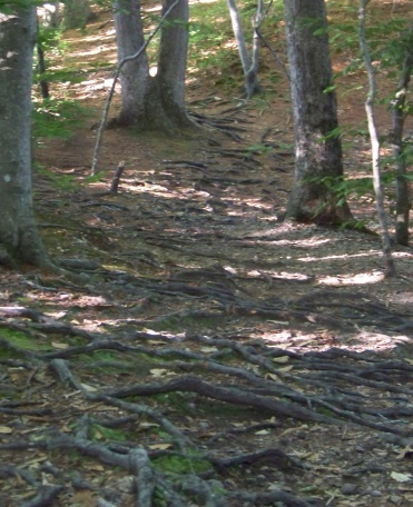 hiking trail filled with tree roots at jacobs pond conservation area