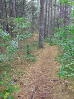 Hiking trail winding through pine trees.