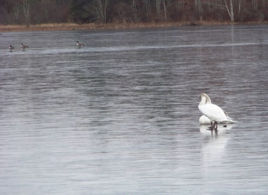 ducks and swans on frozen lower burrage pond