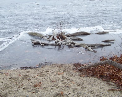 driftwood at edge of lower burrage pond