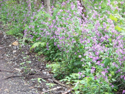 flowers on Rockland Rail Trail