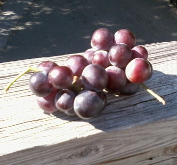 grapes picked by Rockland Rail Trail