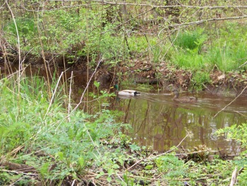 mallard on french's stream in rockland