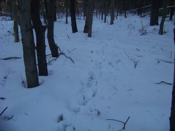 animal tracks in snow in rockland town forest