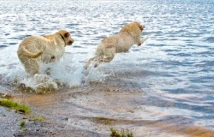 Dogs swim at Holly Pond