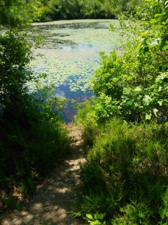 Short side trail to Thompson pond's edge.