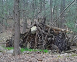 boulder held captive and suspended high  by roots of a large fallen pine tree