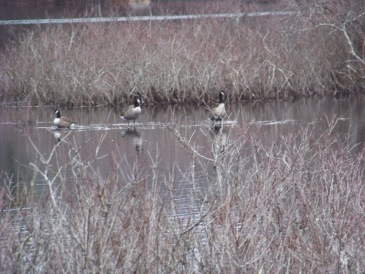 canada geese on a submerged island at triphammer pond