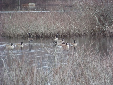 flock of canada geese at triphammer pond