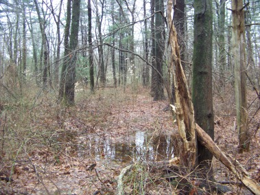 trail passes through wetland in whitman town forest