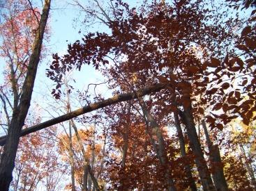 fallen trees make a border above the trail in whitman hanson