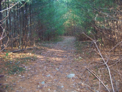hiking trail in whitman hanson through baby pine stand
