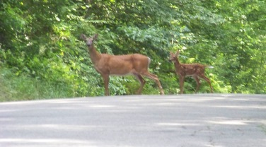 deer of Wompatuck State Park