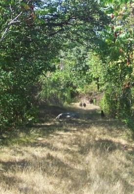 Turkeys running down the grassy hiking trail on Bumpkin Island