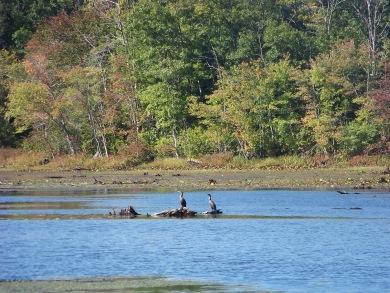 great herons in pond at BWMA