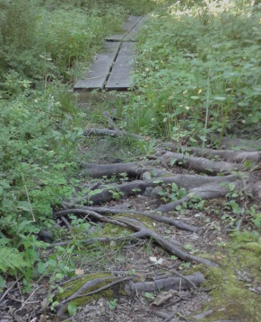 Large tree roots on the hiking trail at george ingram park,