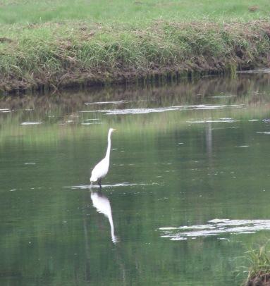 egret in great esker park