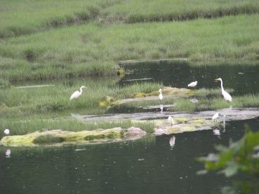 family of egrets in great esker park