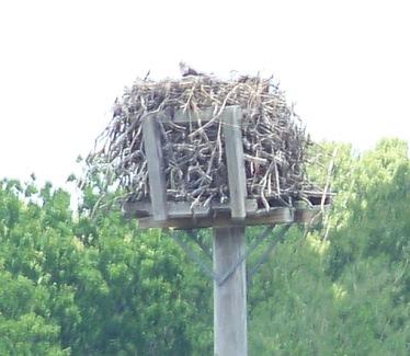 osprey nest at great esker park