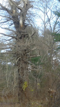 old tree of the trail on indian head trail