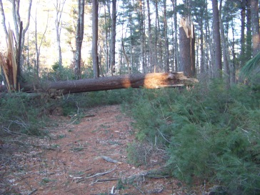 fallen pine in little conservation