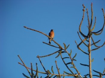 singing happy robin at little conservation