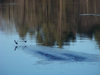 ducks in flight on the North River
