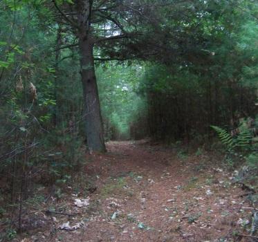 the pine lined return on the salt marsh trail