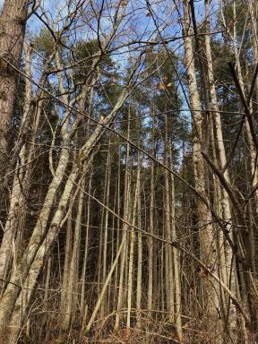 White Atlantic cedar at stump brook sanctuary.