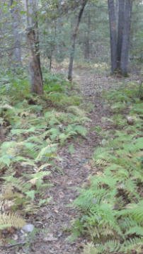fern lined trail at the charles ed white recreation area